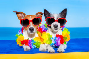 cozy couple of dogs in love just married on honeymoon summer holiday vacation at the tropical beach wearing heart shaped sunglasses and flower chain